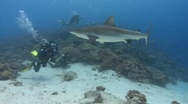Stock Video Footage of Shark swims past SCUBA divers
