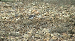 Turnstone Stock Footage