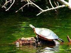 Painted Turtle Sunbathing Stock Footage