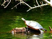 Stock Video Footage of Painted Turtle Sunbathing
