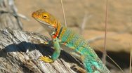 Stock Video Footage of Collared Lizard, Utah, USA