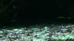 Ecsenius stigmatura - Tailspot Blenny 20111120 185956a Stock Footage