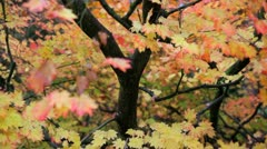 Maple tree displaying the seasonal colour, Gloucestershire, UK Stock Footage