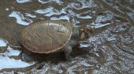 Stock Video Footage of Amazon turtle