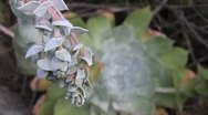 Stock Video Footage of MVI 9346-close up southern california succulent