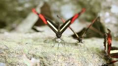 Group of postman butterfly eating minerals in Ecuadorian rainforest Stock Footage