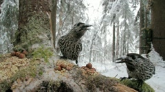 Spotted Nutcracker - stock footage