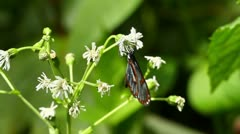 One of the few transparent butterfly comes to a white flower in Ecuadorian Stock Footage