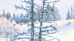 Large Dead Snowy Spruce Tree in Winter - tilt up Stock Footage