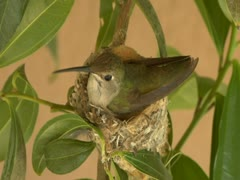 Birth of Hatching Humming bird baby cracking egg open - stock footage