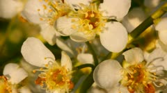 Blossom bird cherry tree flowers macro Stock Footage