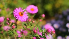 The bees on the flowers - stock footage