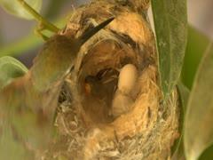 Newborn Hummingbird 1st meal Stock Footage