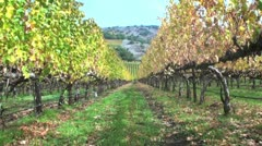 Grapevines After Harvest Stock Footage