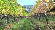 Stock Video Footage of Grapevines After Harvest