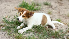The eating and playing puppies - stock footage