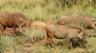 Stock Video Footage of Warthog Family on the Move GFHD