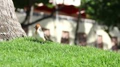 Paradise Bird Stock Footage