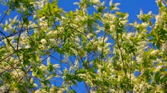 Blossom bird cherry tree branches Stock Footage