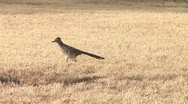 Stock Video Footage of Roadrunner1