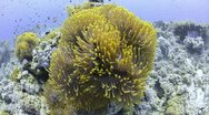 Stock Video Footage of 110612b 002 colony of magnificent anemones