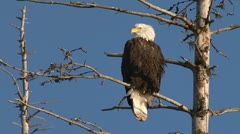 Iconic American Bald Eagle in a Dead Spruce Stock Footage