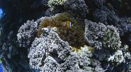 Stock Video Footage of 110612 red sea anemone fish and bubble coral