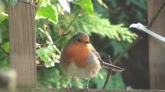 Robin red breast - erithacus rubecula Stock Footage