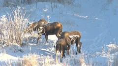 Moose Rut Wintertime Mating Drama 1 Stock Footage