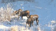 Stock Video Footage of Moose Rut Wintertime Mating Drama 1