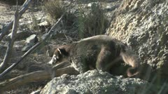 Arizona Desert Coatimundi Stock Footage