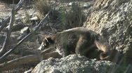 Stock Video Footage of Arizona Desert Coatimundi