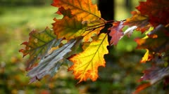 Yellow sheet of an oak in the autumn Stock Footage