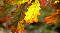 Yellow sheet of an oak in the autumn, located vertically Stock Footage