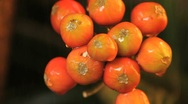 Stock Video Footage of Watering Orange X Yellow Seeds of Clivia plant GFHD