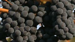 Agriculture, vineyard grapes small zoom Stock Footage