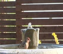Red Finch bathes in Birdbath Stock Footage
