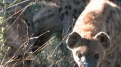 Hyena Stare Stock Footage