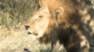 Lion Roaring-Part 1 Stock Footage
