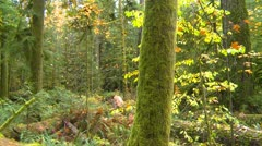 Cathedral Grove old growth forest pan Stock Footage