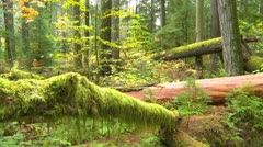 Cathedral Grove old growth forest Stock Footage