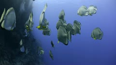 Small shoal of circular batfish or spade fish Stock Footage