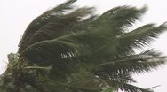 Stock Video Footage of Hurricane Winds Thrash Palm Trees