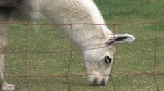 Alpaca 6 Stock Footage