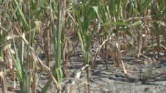 Corn field - stock footage