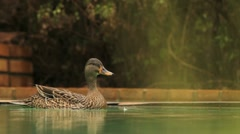 Mother Duck Quacking alarm calls at Cat GFHD Stock Footage
