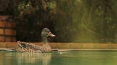 Mother Duck Quacking alarm calls at Cat GFHD Stock Footage