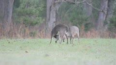 Two whitetail deer bucks fighting in an open field Stock Footage