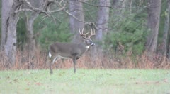 Whitetail buck and wild turkeys Stock Footage