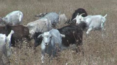 Male goat Stock Footage